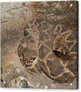 Diamondback Rattlesnake Acrylic Print