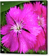 Dianthus First Love Flower Print Acrylic Print