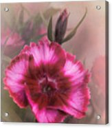 Dianthus Flower IIi Acrylic Print
