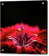 Dianthus In Desperation Acrylic Print