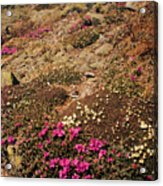 Diapensia And Lapland Rosebay Acrylic Print