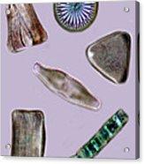 Diatoms Acrylic Print