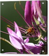 Digging In The Stamens Acrylic Print