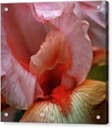 Digital Oil Painting Pink Iris 9915 O_2 Acrylic Print