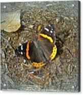 Digital Red Admiral Butterfly - Vanessa Atalanta Acrylic Print
