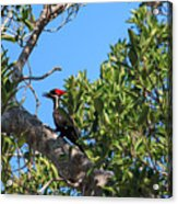Ding Darling - Pileated Woodpecker Resting Acrylic Print