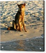 Dingo On The Beach Acrylic Print