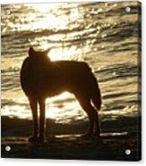 Dingo Sunset Acrylic Print