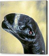 Dinosaur: Camarasaurus Acrylic Print