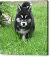 Dinstinctive Black And White Markings On An Alusky Pup Acrylic Print