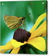 Dion On A Brown Eyed Susan Acrylic Print