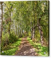 Dirt Path In A Birch Grove  Acrylic Print