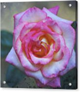 Dirty Pink Rose Acrylic Print