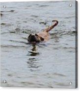 Dirty Water Dog Acrylic Print