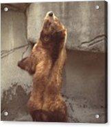 Disco Bear  52891-1 Acrylic Print