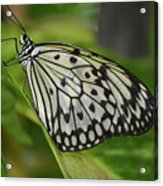 Distinctive Side Profile Of A White Tree Nymph Butterfly Acrylic Print