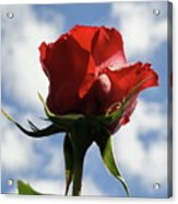 Diva Rose Acrylic Print