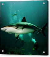 Dive With The Sharks Acrylic Print