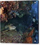 Diver And Sea Turtle, Manado, North Acrylic Print by Mathieu Meur