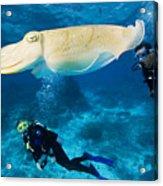 Divers Swim Near A Cuttlefish Acrylic Print