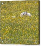 Do Ewe Like Buttercups? Acrylic Print