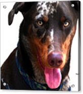 Doberman Australian Shepherd Cattle Dog  Acrylic Print