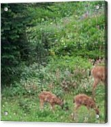 Doe And Twin Fawns Acrylic Print