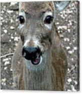 Doe Eyed Deer Talk Acrylic Print