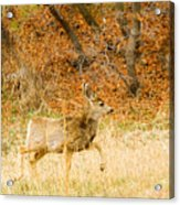 Doe High Stepping On Bald Mountain Acrylic Print