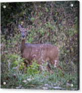 Doe In The Weeds Acrylic Print
