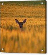 Doe In The Wheat Acrylic Print