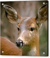 Doe With A Blaze Acrylic Print