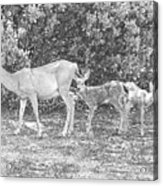Doe With Twins Pencil Rendering Acrylic Print