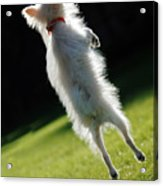 Dog - Jumping Acrylic Print