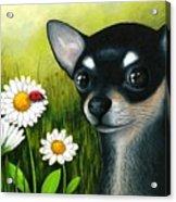 Dog 79 Chihuahua Acrylic Print
