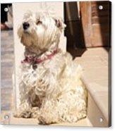 Dog Begging Acrylic Print