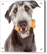 Dog Carrying Bone Biscuit In Mouth Acrylic Print