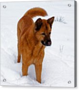 Dog Days Of Winter Acrylic Print