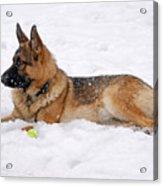 Dog In Snow Acrylic Print by Sandy Keeton