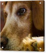 Dog In Thought  Acrylic Print