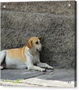 Dog Next To A Wall Acrylic Print