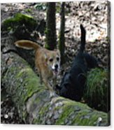 Dog On A Log Acrylic Print