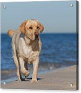 Dog On The Beach Acrylic Print