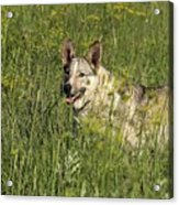 Dog Portrait Acrylic Print