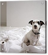 Dog Sitting On Bathroom Floor Amongst Shredded Lavatory Paper Acrylic Print