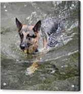 Dog Swimming In Cold Water Acrylic Print