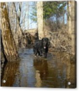 Dog Wading In Swollen River Acrylic Print
