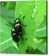 Dogbane Beetles Acrylic Print