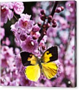 Dogface Butterfly In Plum Tree Acrylic Print