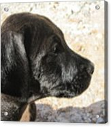 Doggi Acrylic Print